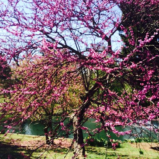 KY Spring REd Bud